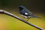 Black-throated blue warbler in early October