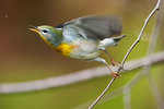 Northern Parula in October chasing bug-motion