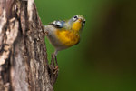 Northern parula foraging for insects in early October