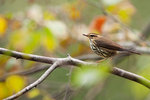 Northern waterthrush in early September foliage