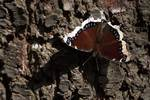 Mourning cloak in early October