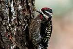 Yellow-bellied sapsucker with wasp prey