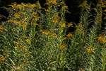 Goldenrod in September