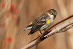Yellow-rumped warbler during fall migration