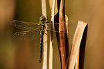 Green darner dragonfly in late October