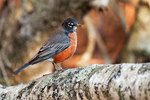 American robin in autumn