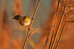 Yellow-rumped warbler  in late October dawn