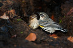 Male and female yellow-rumped warblers in late October