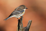 Yellow-rumped warbler in fall migration