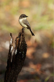 Eastern phoebe in late October