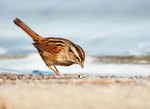 Foraging swamp sparrow in autumn