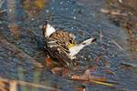 Bathing yellow-rumped warbler in fall migration