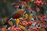 American robin and crab apples
