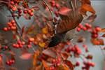 American robin in November  crab apple