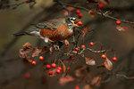 American robin feeding on crab apples