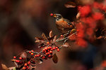 American robin in autumn crab apple