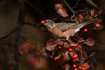 American robin with crab apple
