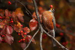 american robin with crab apple berry
