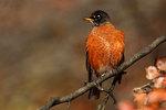 American robin portrait in autumn