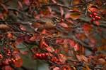 American robin in autumn crab apple tree