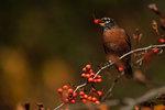 American robin in autumn crab apple