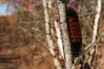 Woolly bear caterpillar in early November