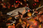 American robin attempting to eat crab apple