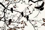 Pigeons in late autumn