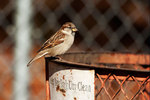 House sparrow and city trash can