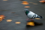 Feral pigeon in November-motion