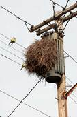 Monk parakeets and nest at transformer