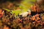 Monk parakeet feeding on ground