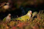 ground feeding monk parakeet