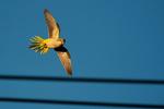 Monk parakeet flight