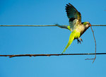 Monk parakeet with nesting material