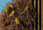 Monk parakeets at nest