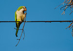 Monk parakeet near nest