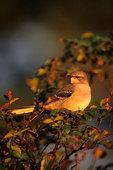 Mockingbird in late light