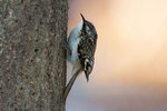 Brown creeper in early December