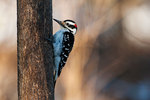 Hairy woodpecker foraging in late autumn