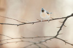 Tufted titmouse in pastel-lit late autumn woods