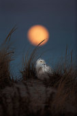 Snowy owl and full moon