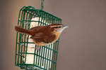 Carolina wren on suet feeder