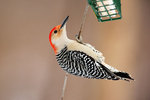 Male red-bellied woodpecker at suet feeder