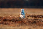 Snowy owl in alert pose