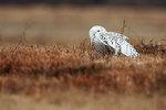 Snowy owl wing-stretch