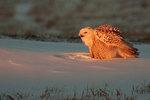 Snowy owl in winter sunset
