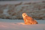 Snowy owl in January late light