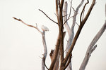 Snowy owl perched high among dead tree limbs