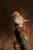 Song sparrow in field